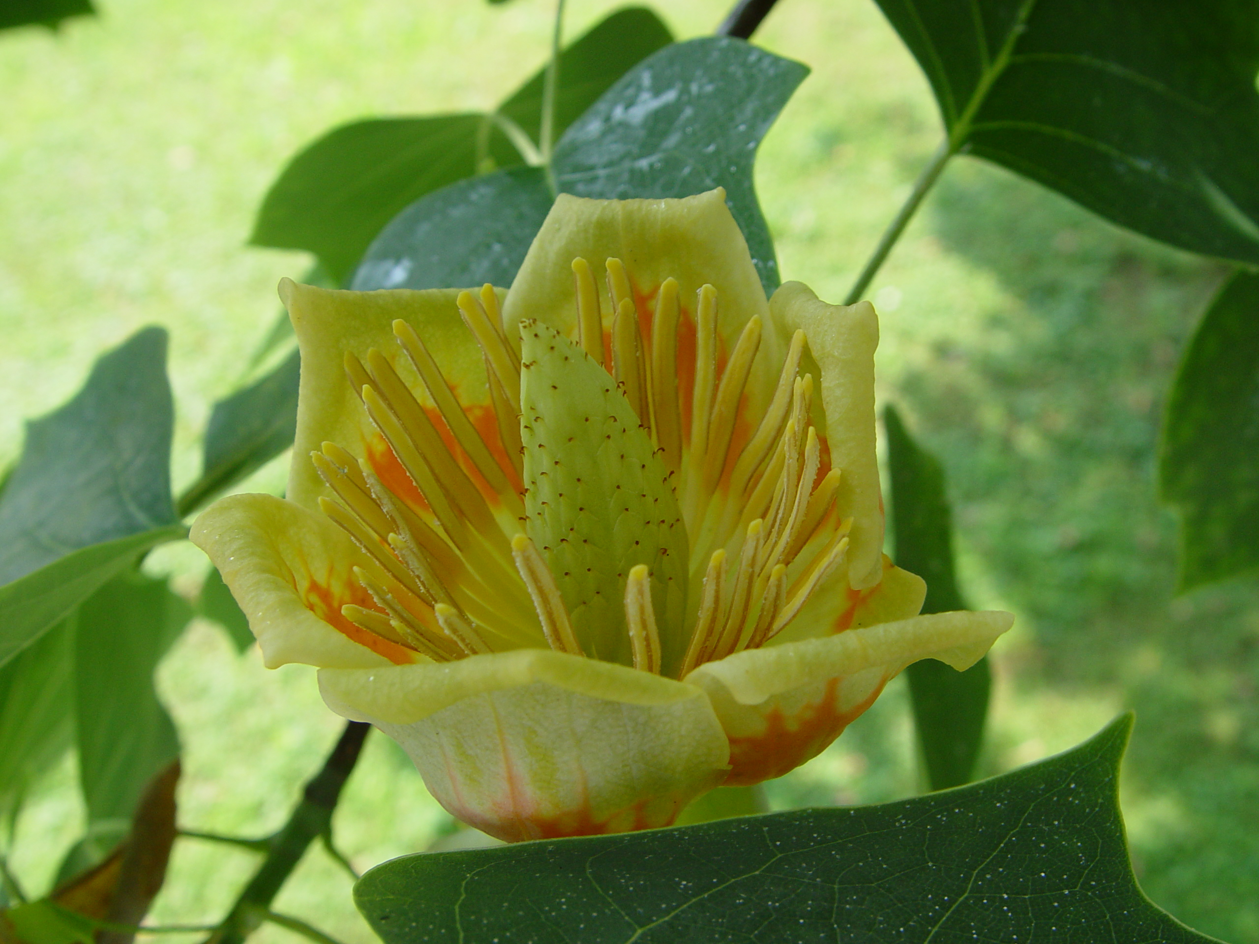 Bay Avenue Native Habitat Restoration Liriodendron tulipifera State Tree of