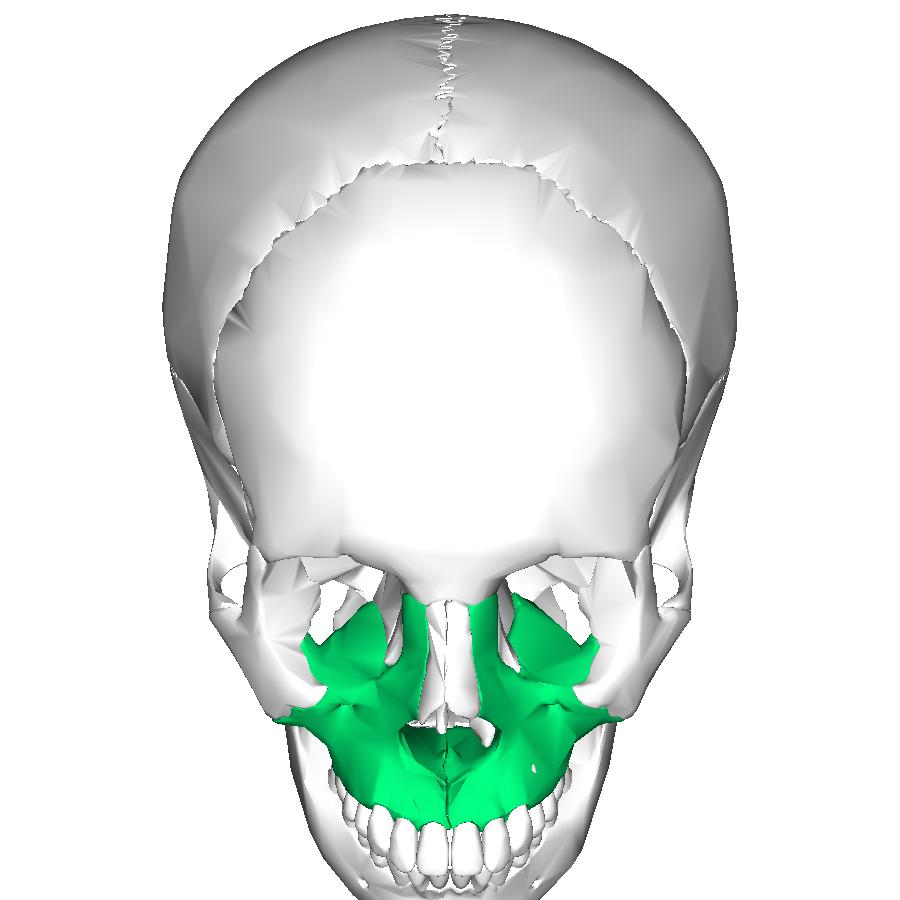 Maxillary Bone File:Maxilla superior....