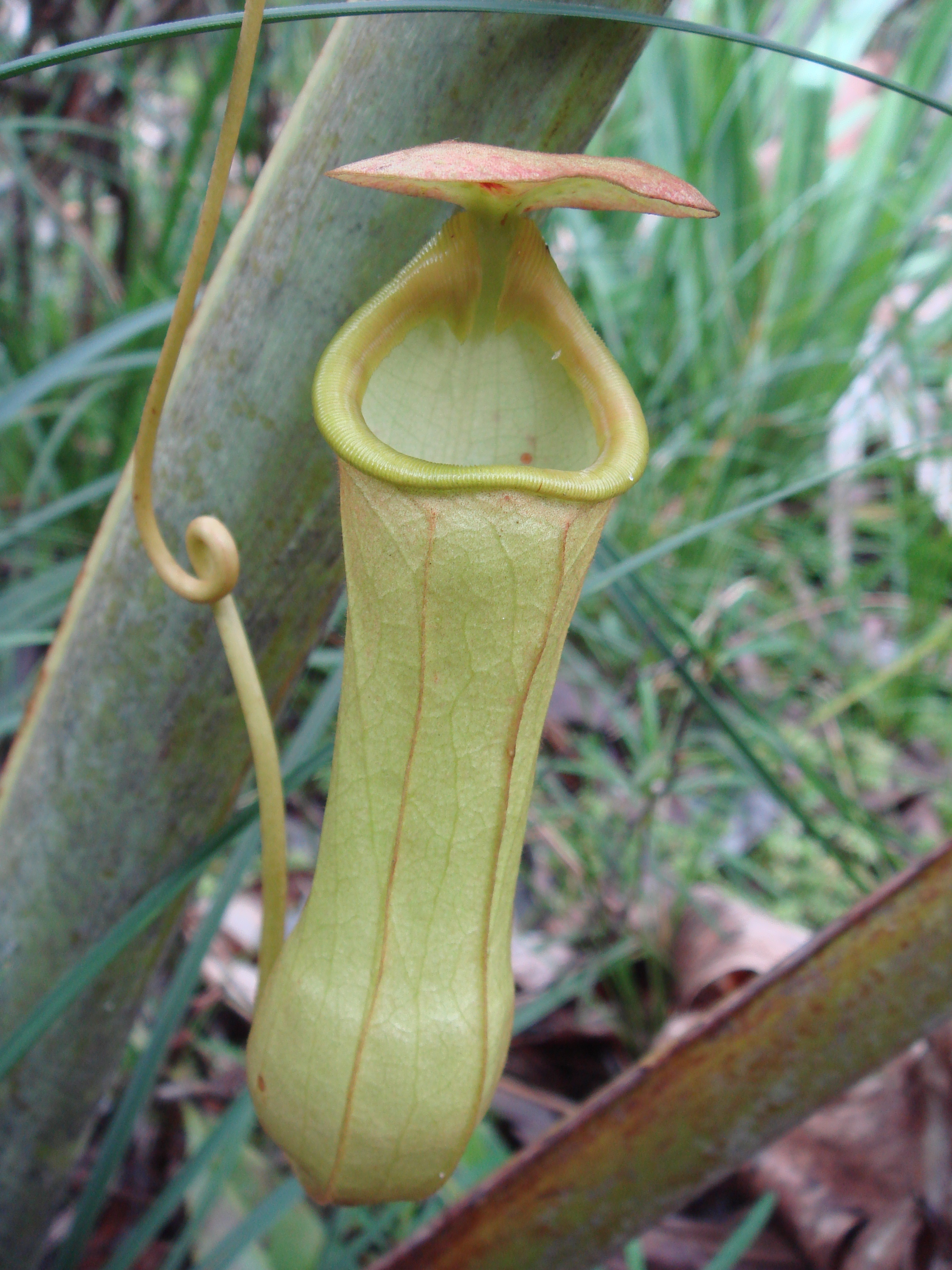 Nepenthes Madagascariensis