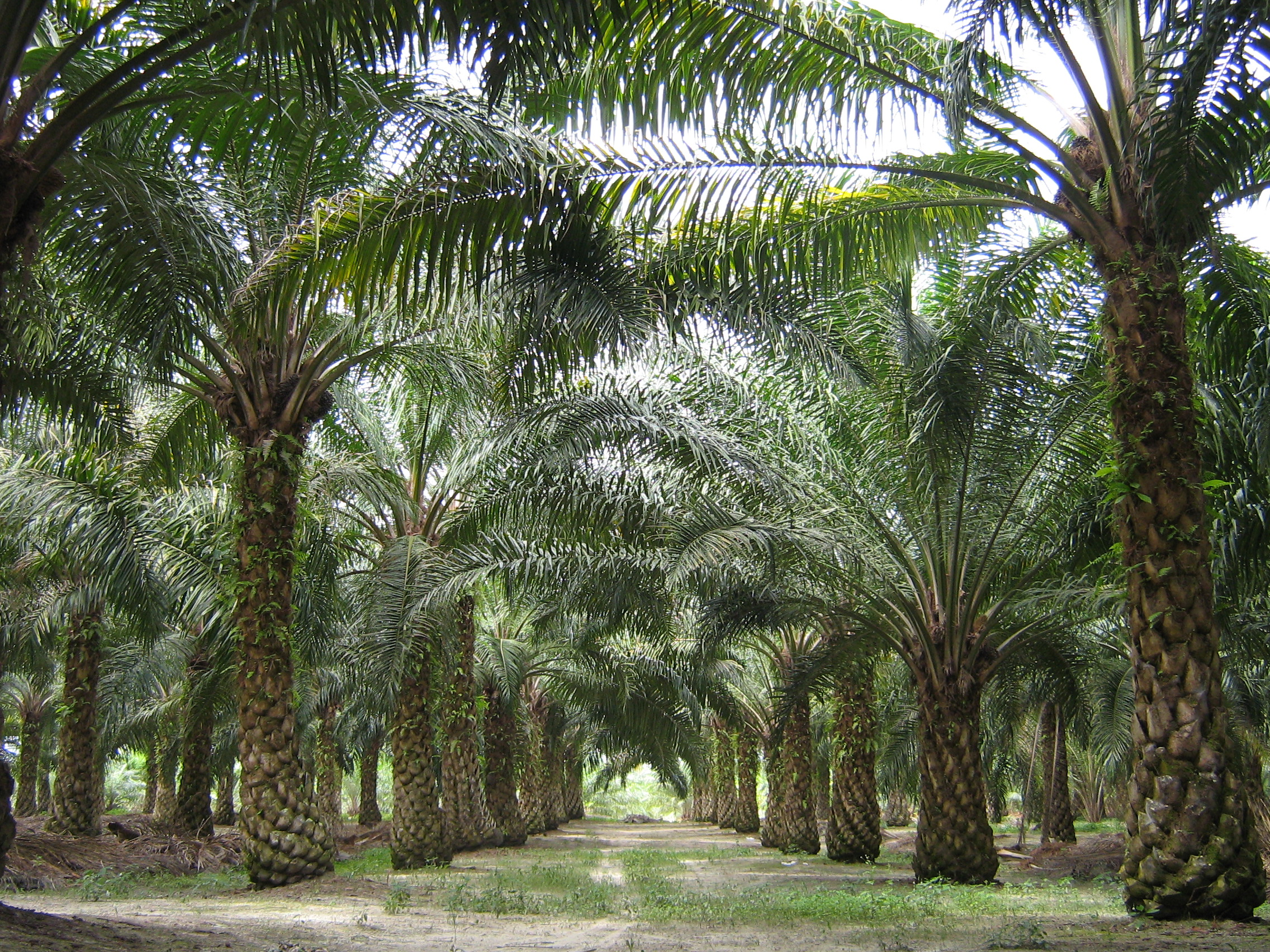Palm oil production in Malaysia - Wikipedia