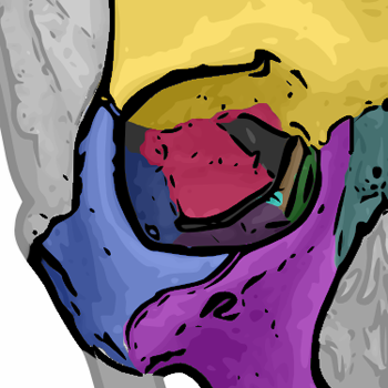 The seven bones that form the orbit: yellow = Frontal bone green = Lacrimal bone brown = Ethmoid bone blue = Zygomatic bone purple = Maxillary bone aqua = Palatine bone red = Sphenoid bone  teal = Nasal bone (illustrated but not part of the orbit) Orbital bones.png