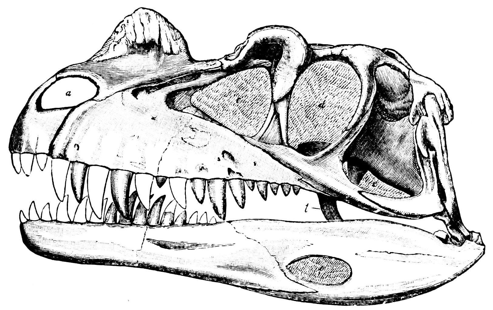 FilePSM V34 D487 Skull Of Ceratosaurus