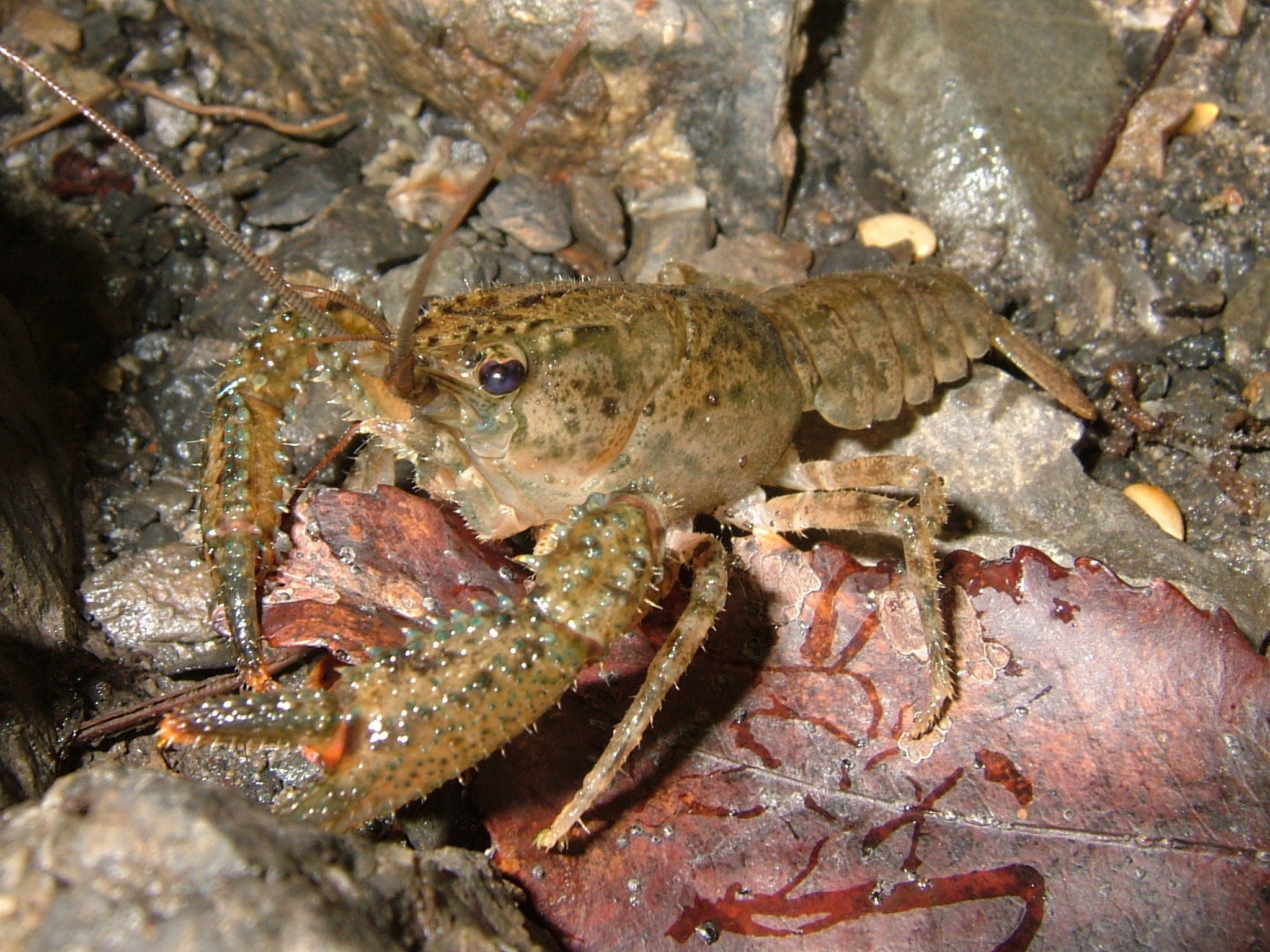 Crayfish Wikipedia