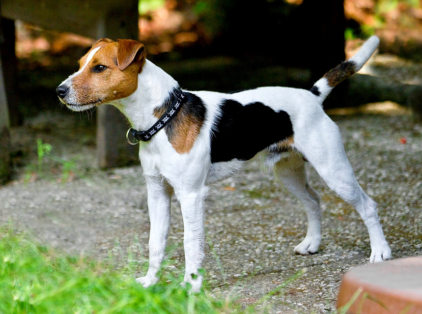 1000 images about parson russell terrier on pinterest in another life apple cider vinegar. Black Bedroom Furniture Sets. Home Design Ideas
