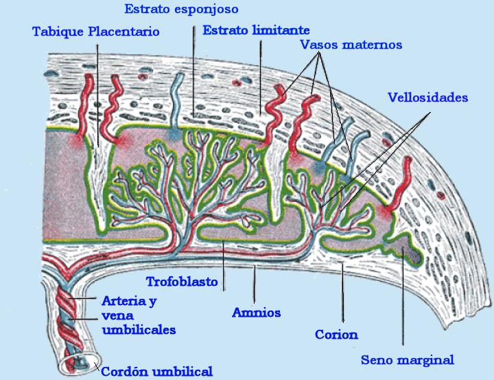 Descripción PlacentaEsq.png