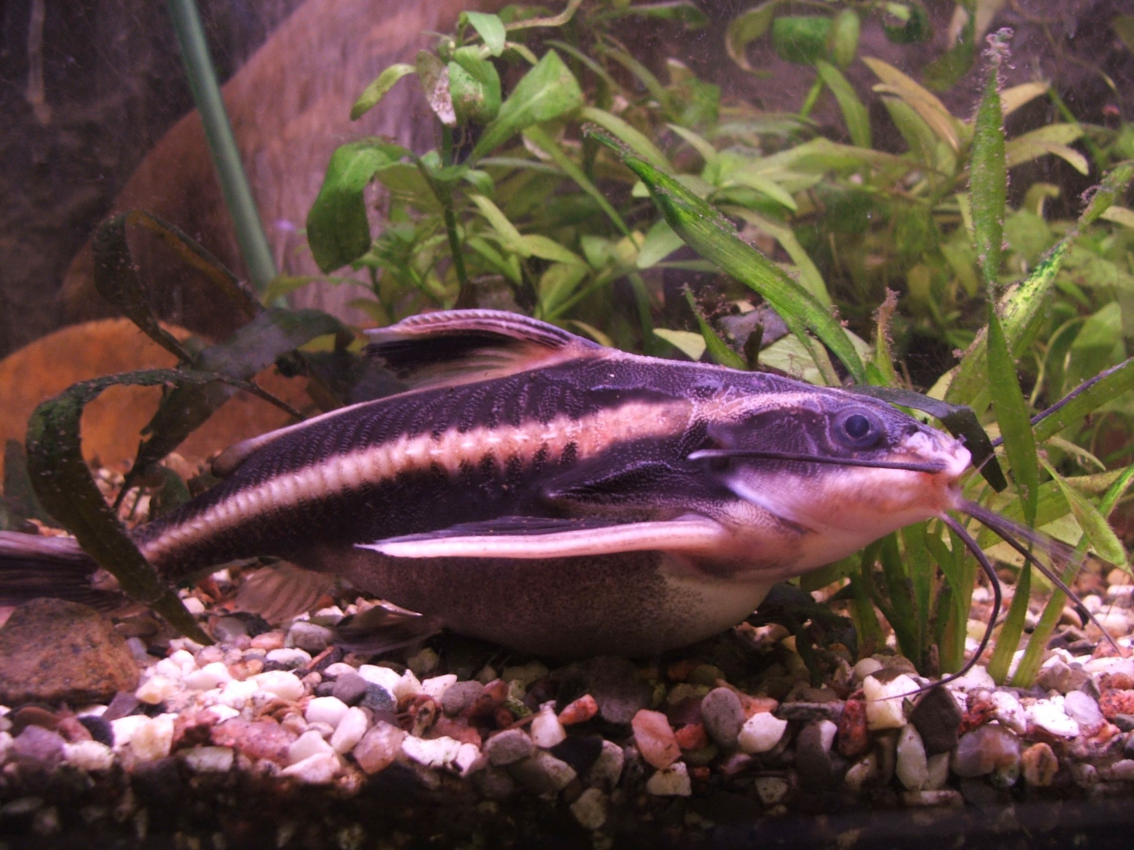 Striped Raphael Catfish Wikipedia