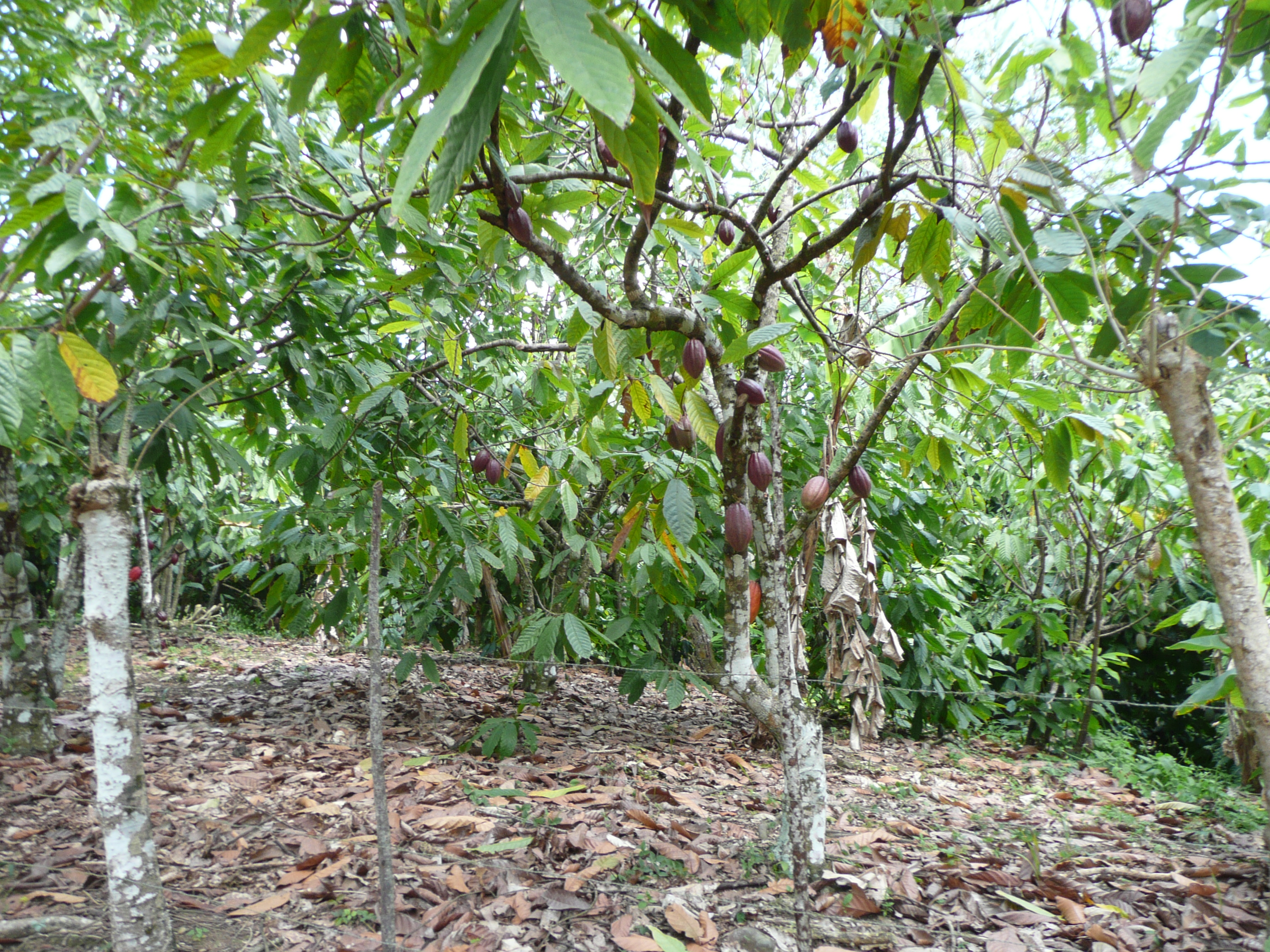 Punta Cana Theobroma cacao tree.jpg
