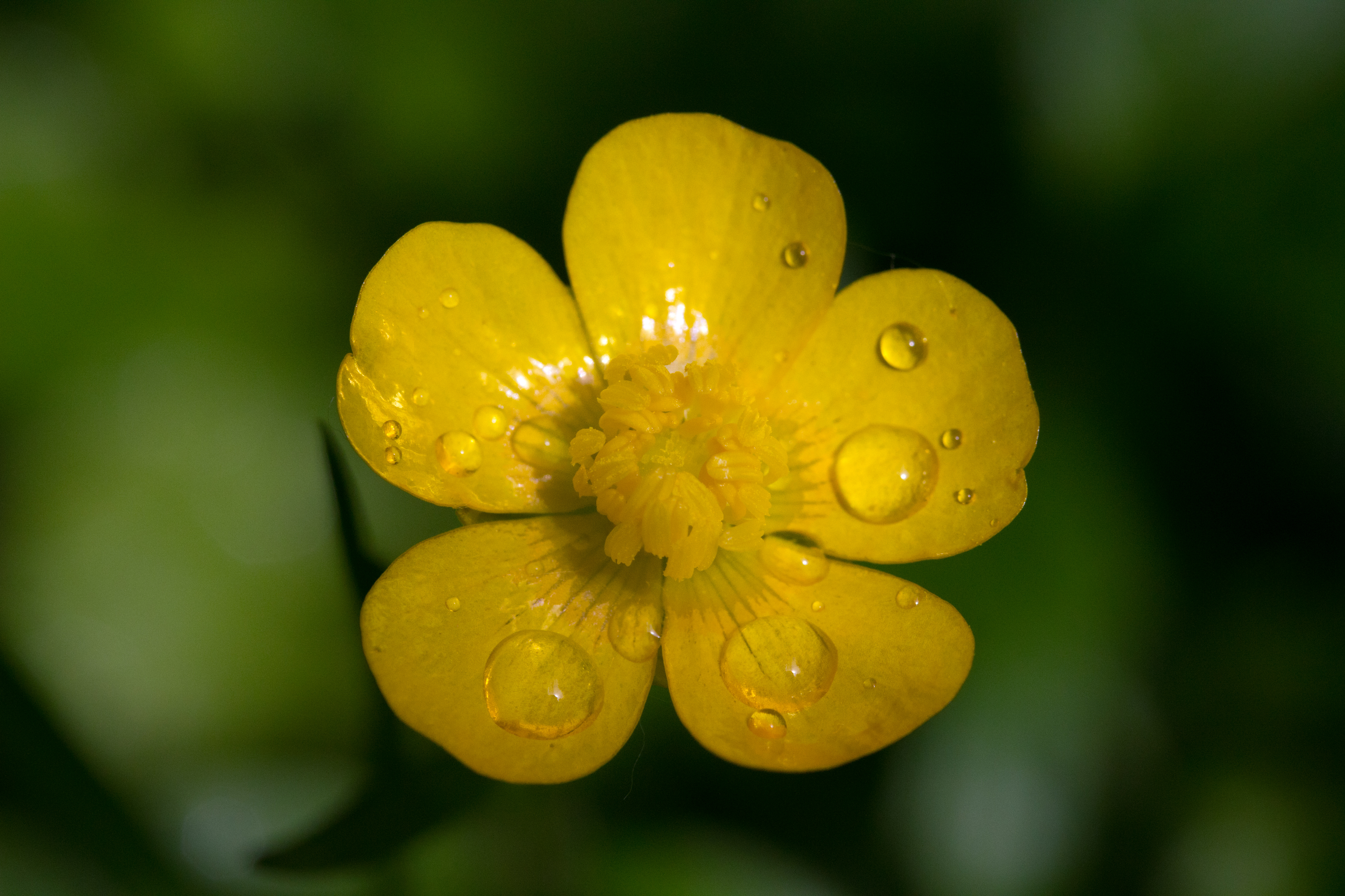 https://upload.wikimedia.org/wikipedia/commons/8/8d/Ranunculus_macro.jpg