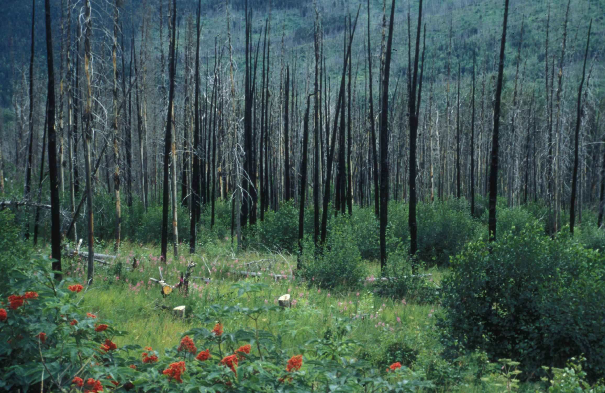 File:Regrowth after forest fire.jpg - Wikimedia Commons