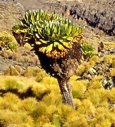 <i>Dendrosenecio keniodendron</i> Species of flowering plant