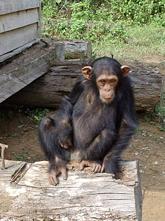 Berkas:South Djoum Chimp.jpg