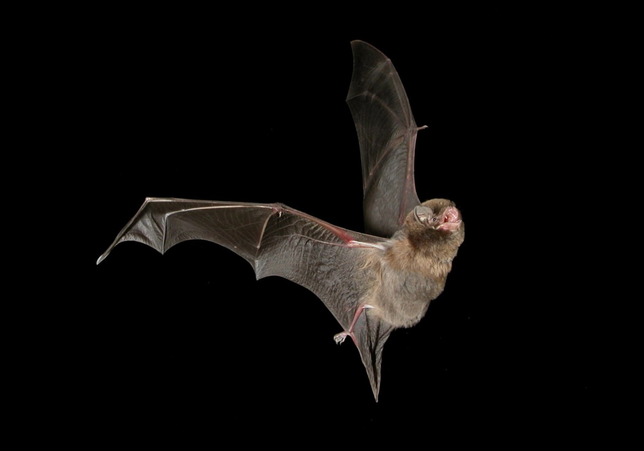 Southern Bent Wing Bat