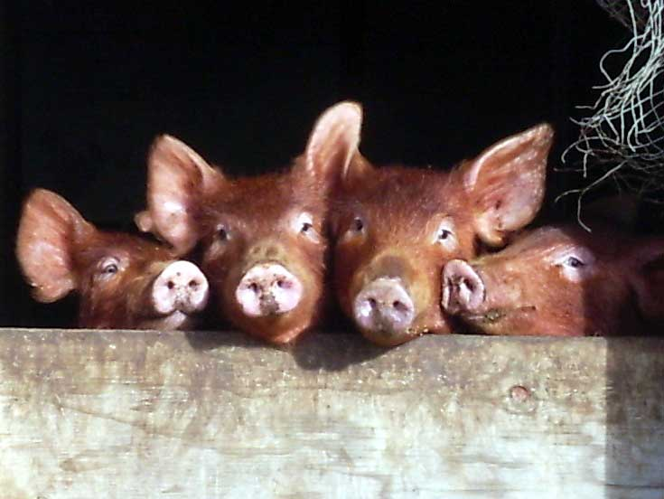 Four Tamworth piglets