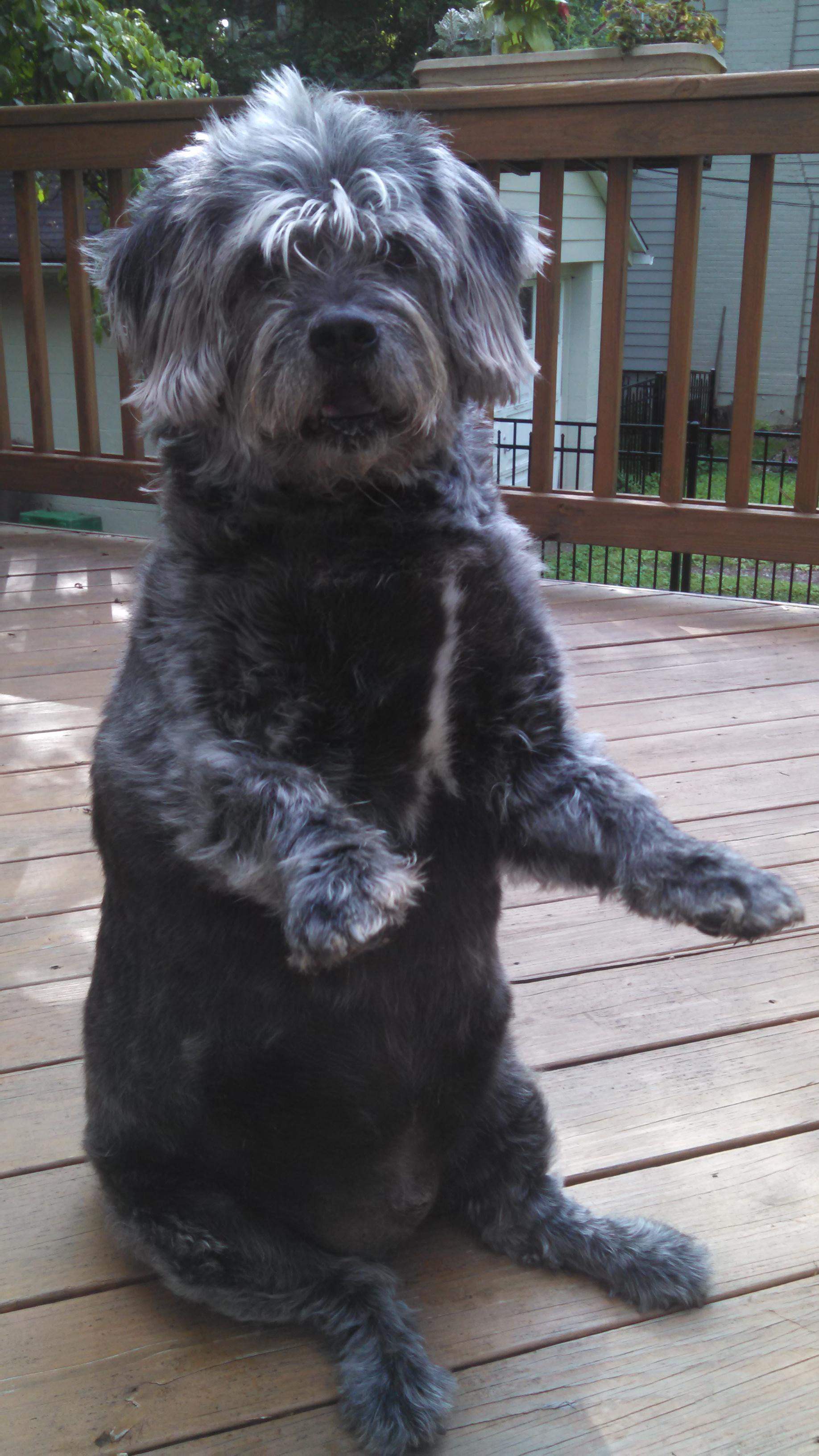Glen of Imaal Terrier - Wikiwand