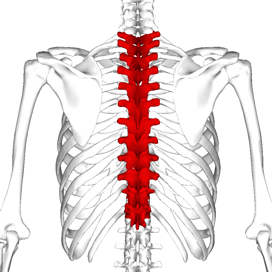 thoracic d233finition what is