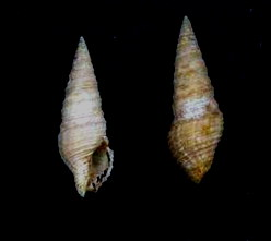 <i>Tomopleura nivea</i> Species of gastropod
