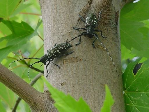 https://upload.wikimedia.org/wikipedia/commons/8/8d/Two_Asian_longhorned_beetle_adults_on_a_maple_tree_%2811425576685%29.jpg