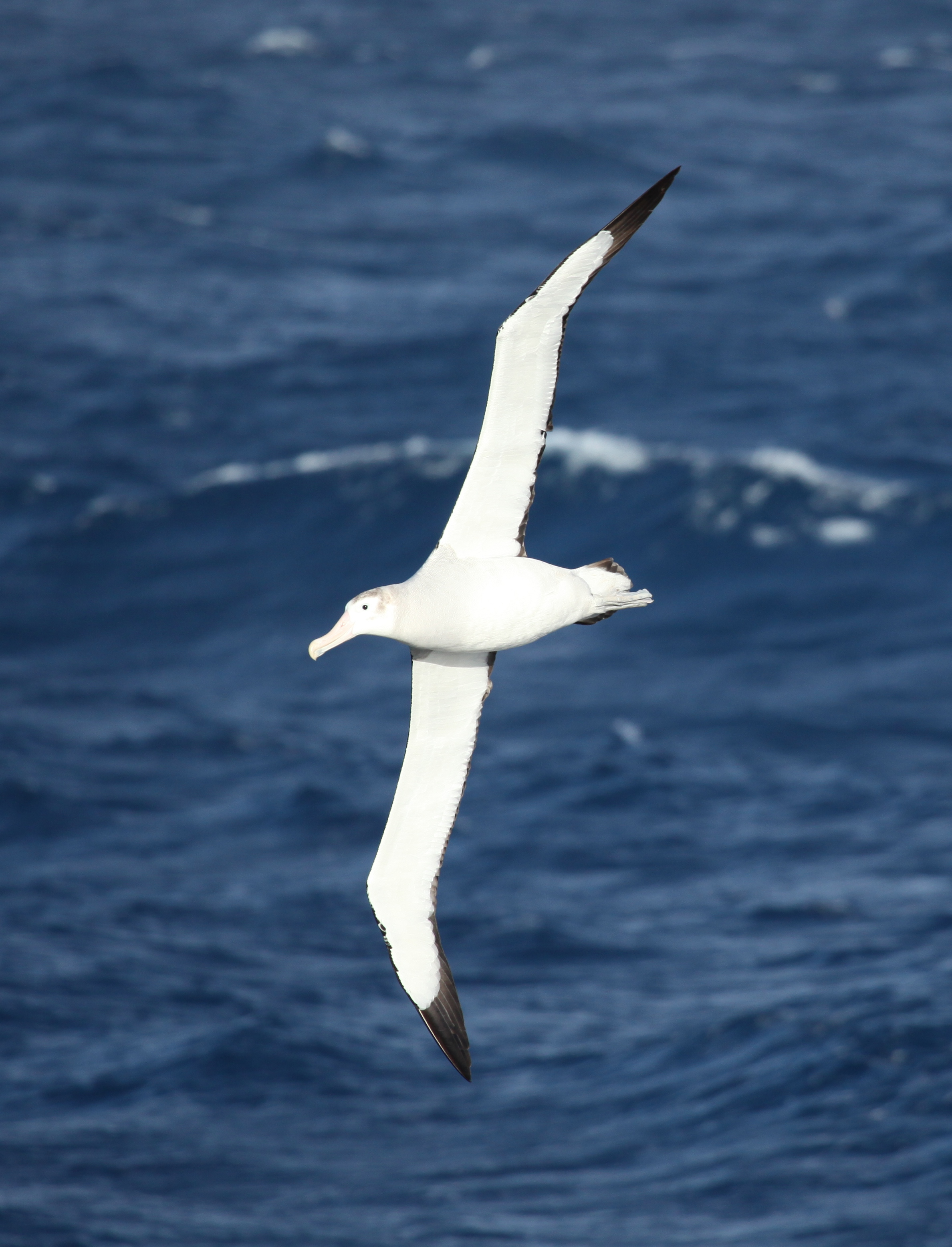 File:Wandering Albatross flying over the South Atlantic ...