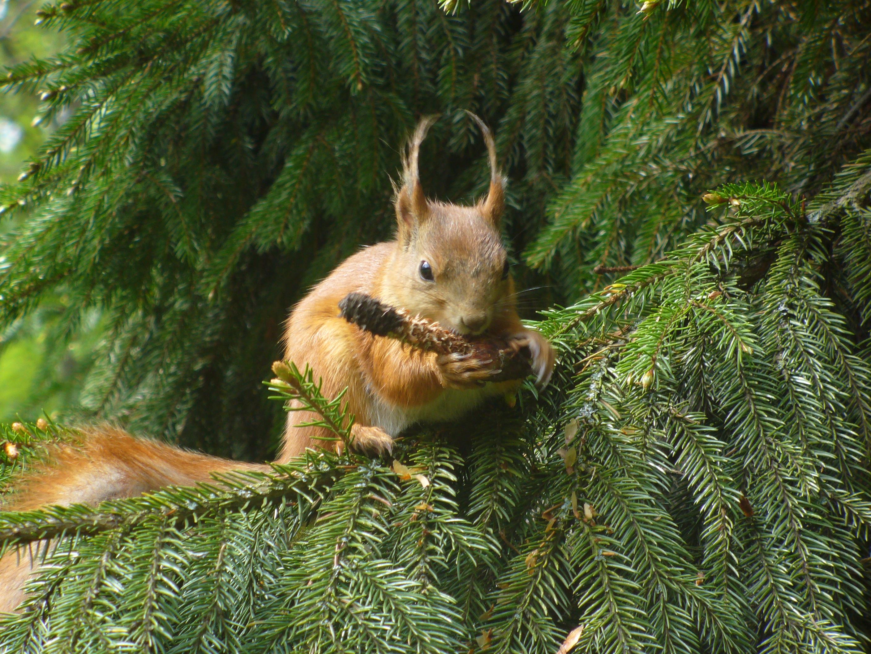 Znalezione obrazy dla zapytania wiewiórka