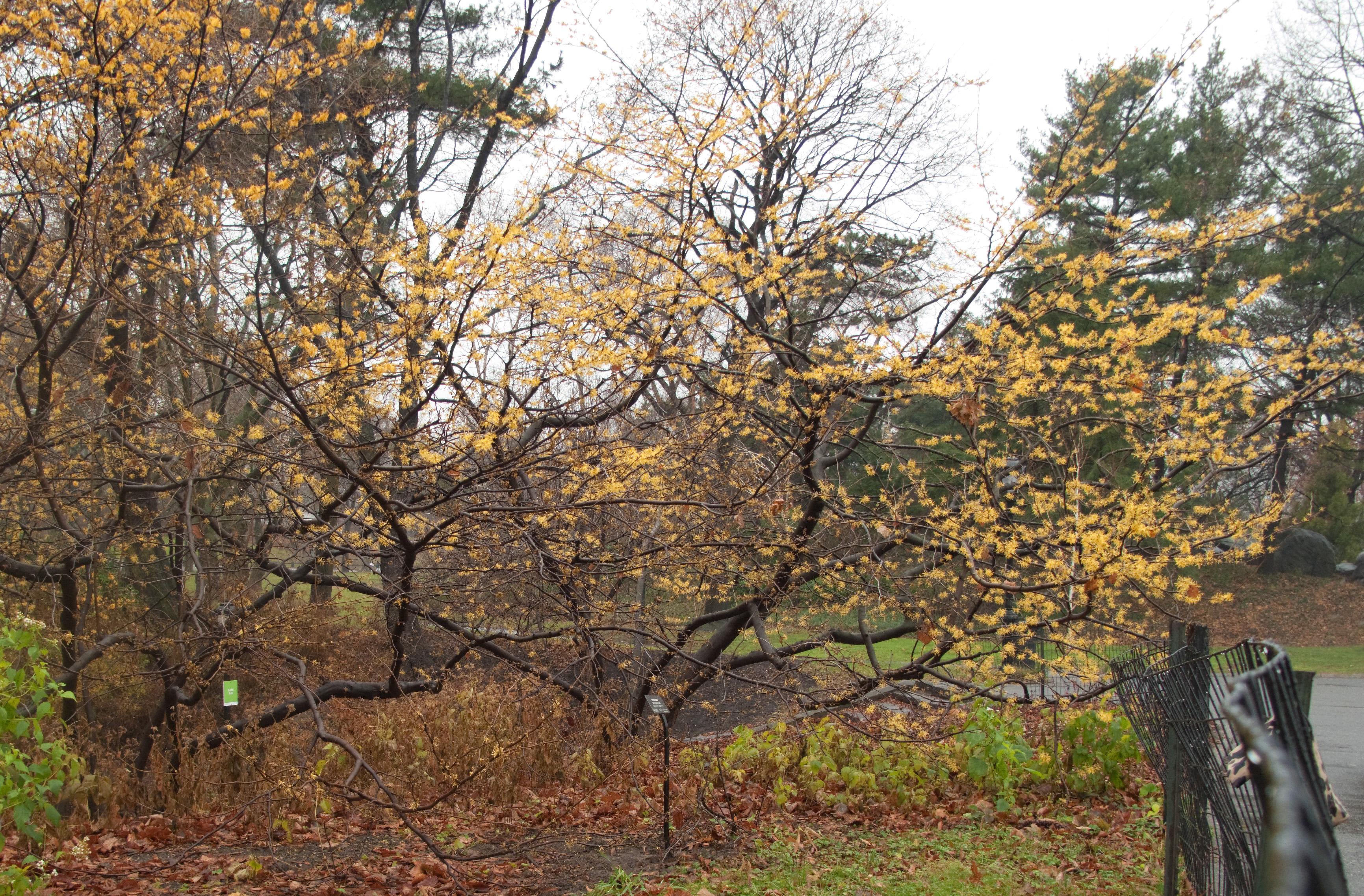 File Witch Hazel Tree Central Park Winter Jpg Wikimedia Commons