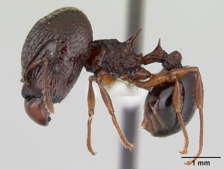 Acanthomyrmex ferox