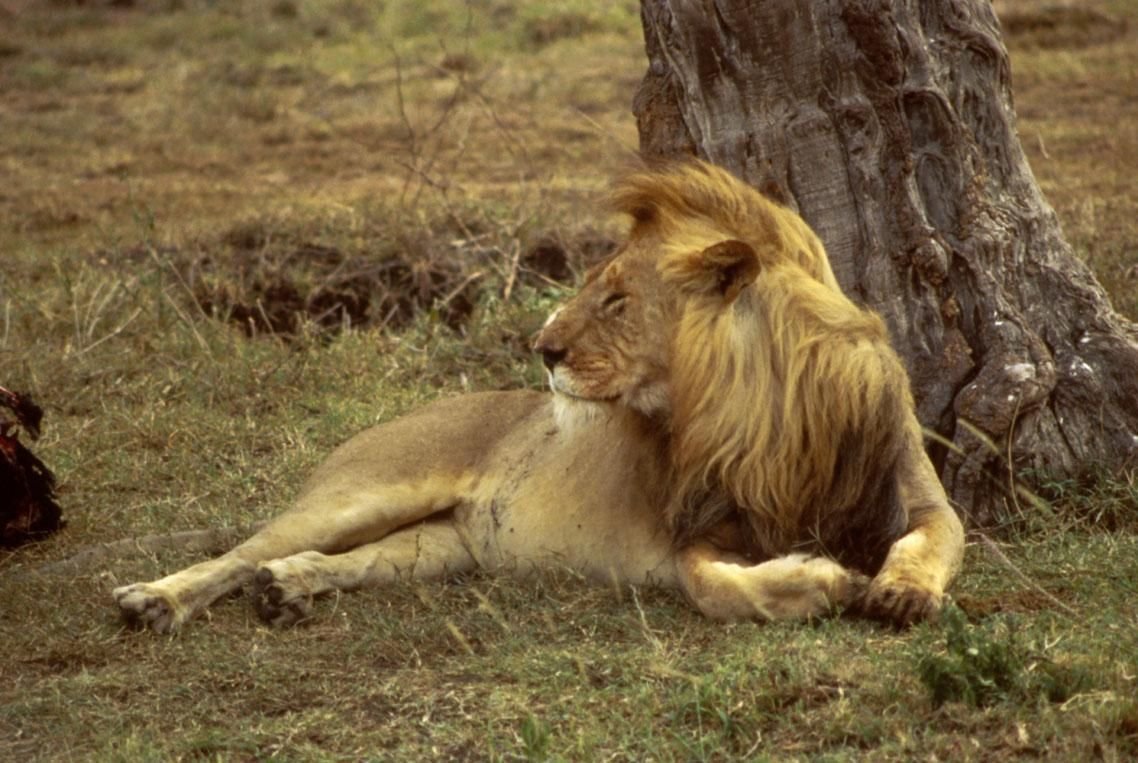 file:african lion hd - wikimedia commons