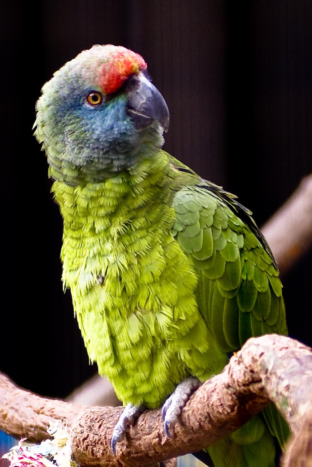 Amazona festiva