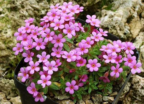 File androsace wikimedia commons - Plantas colgantes de exterior ...