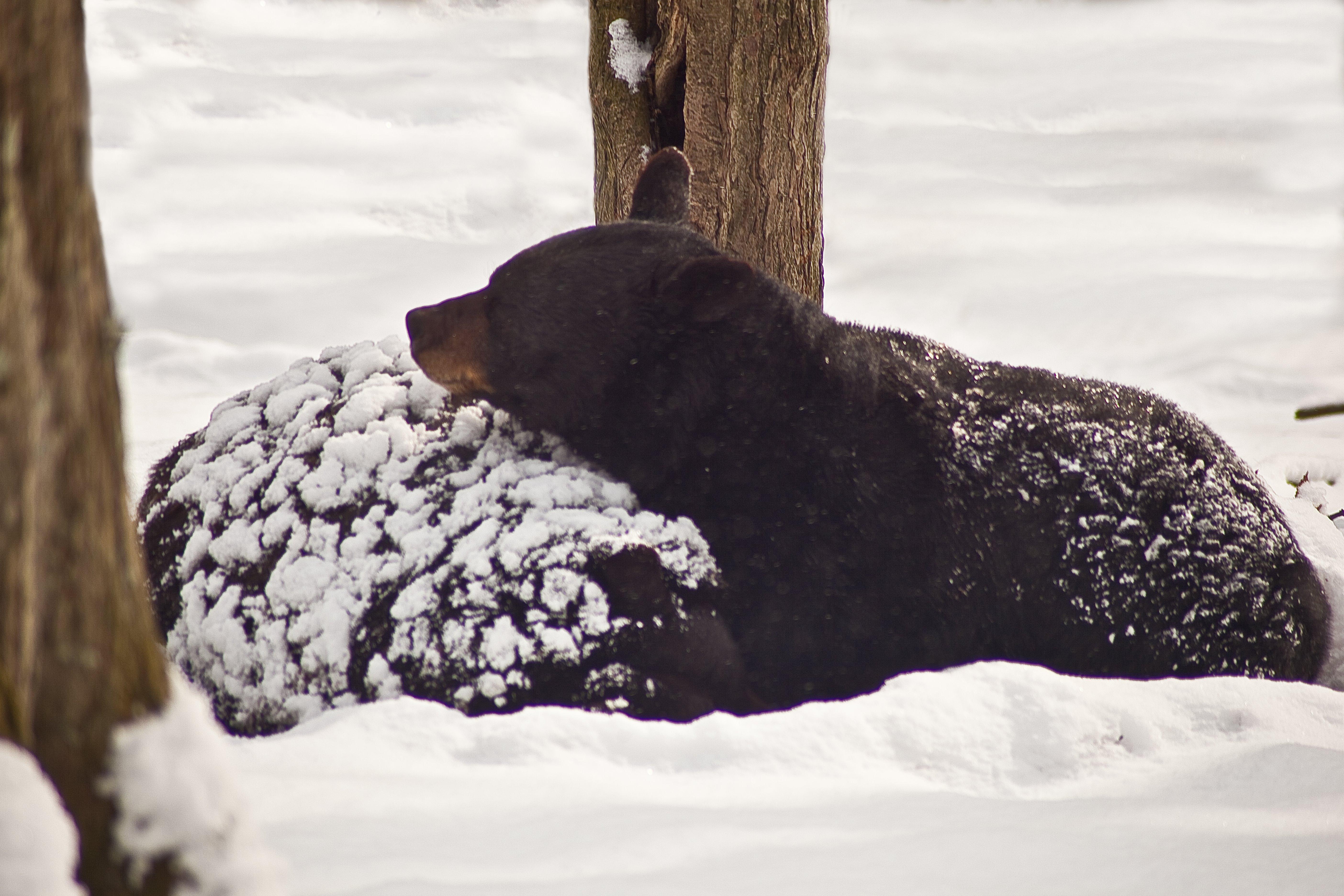file black bear winter sleep west virginia. Black Bedroom Furniture Sets. Home Design Ideas