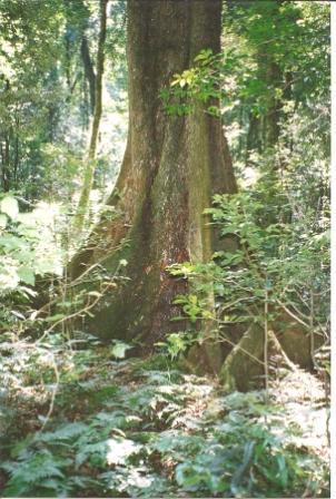 Argyrodendron Actinophyllum Wikipedia