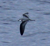 Blackwinged petrel upperwing jun08.JPG
