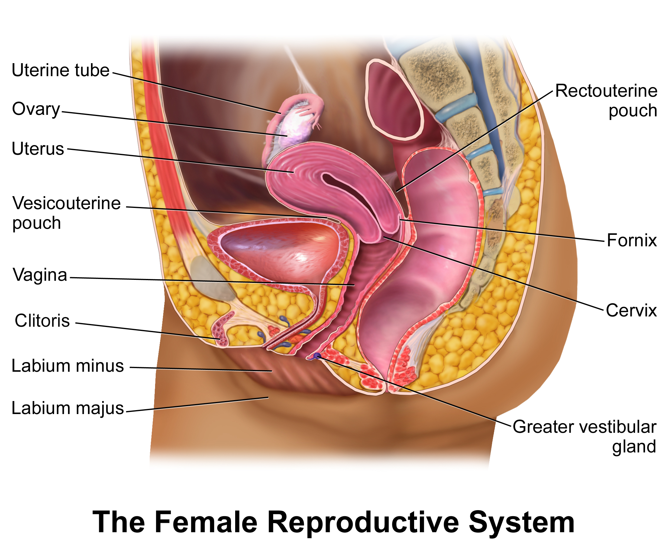 FEMALE REPRODUCTIVE SYSTEM DIAGRAM - Unmasa Dalha
