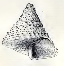 Calliostoma orion