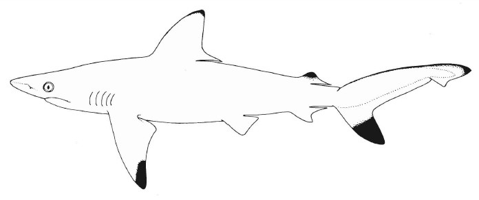 pondicherry shark