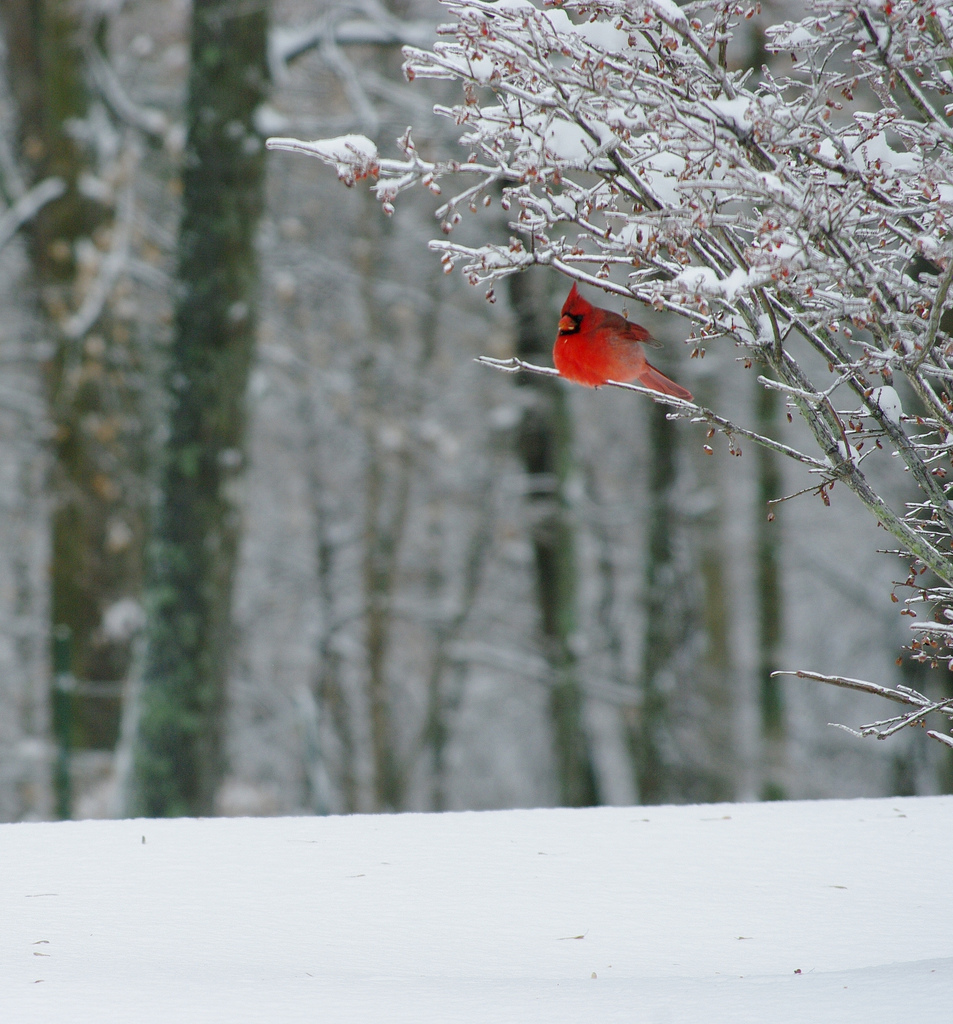 file cardinal in snow 6565983835 jpg wikimedia commons