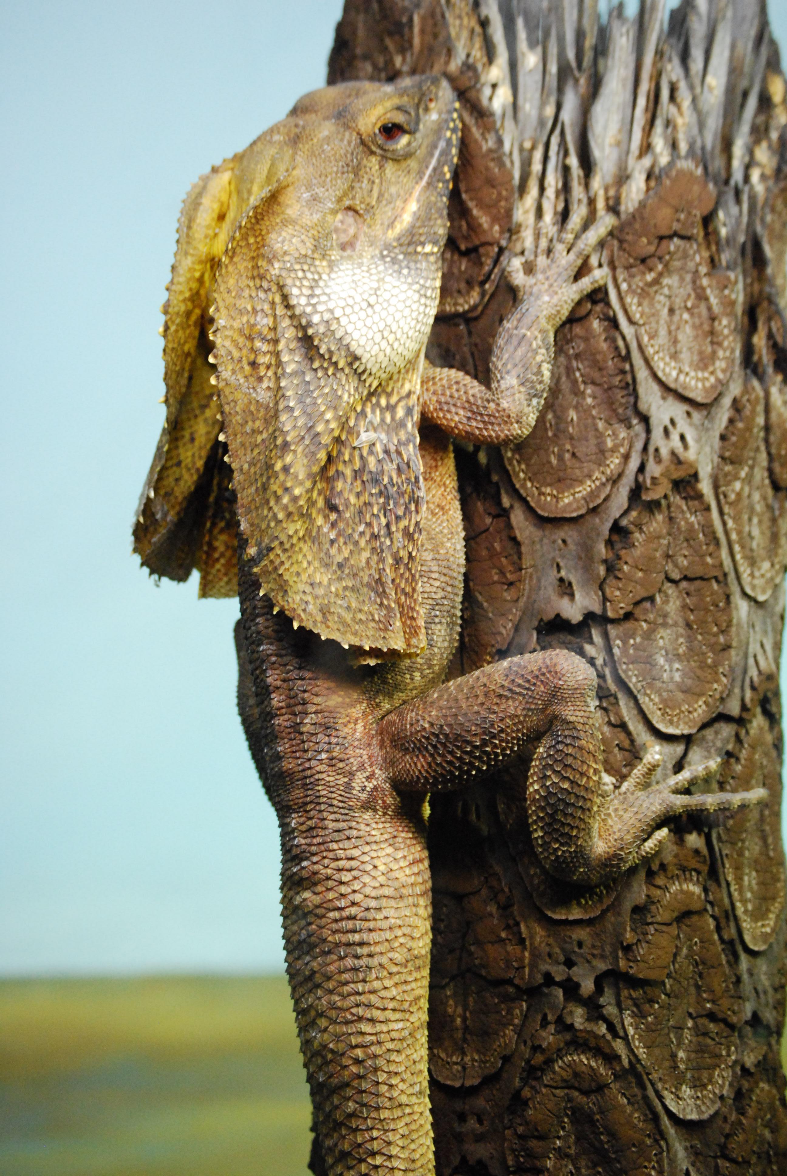 K Dragon Lizard File:Chlamydosaurus ki...