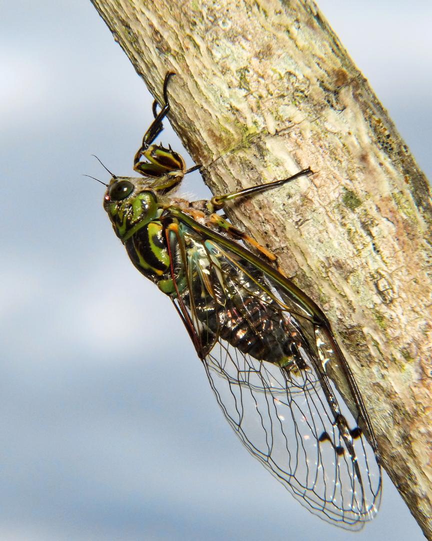 File:Chorus Cicada... (6926902643).jpg - Wikimedia Commons