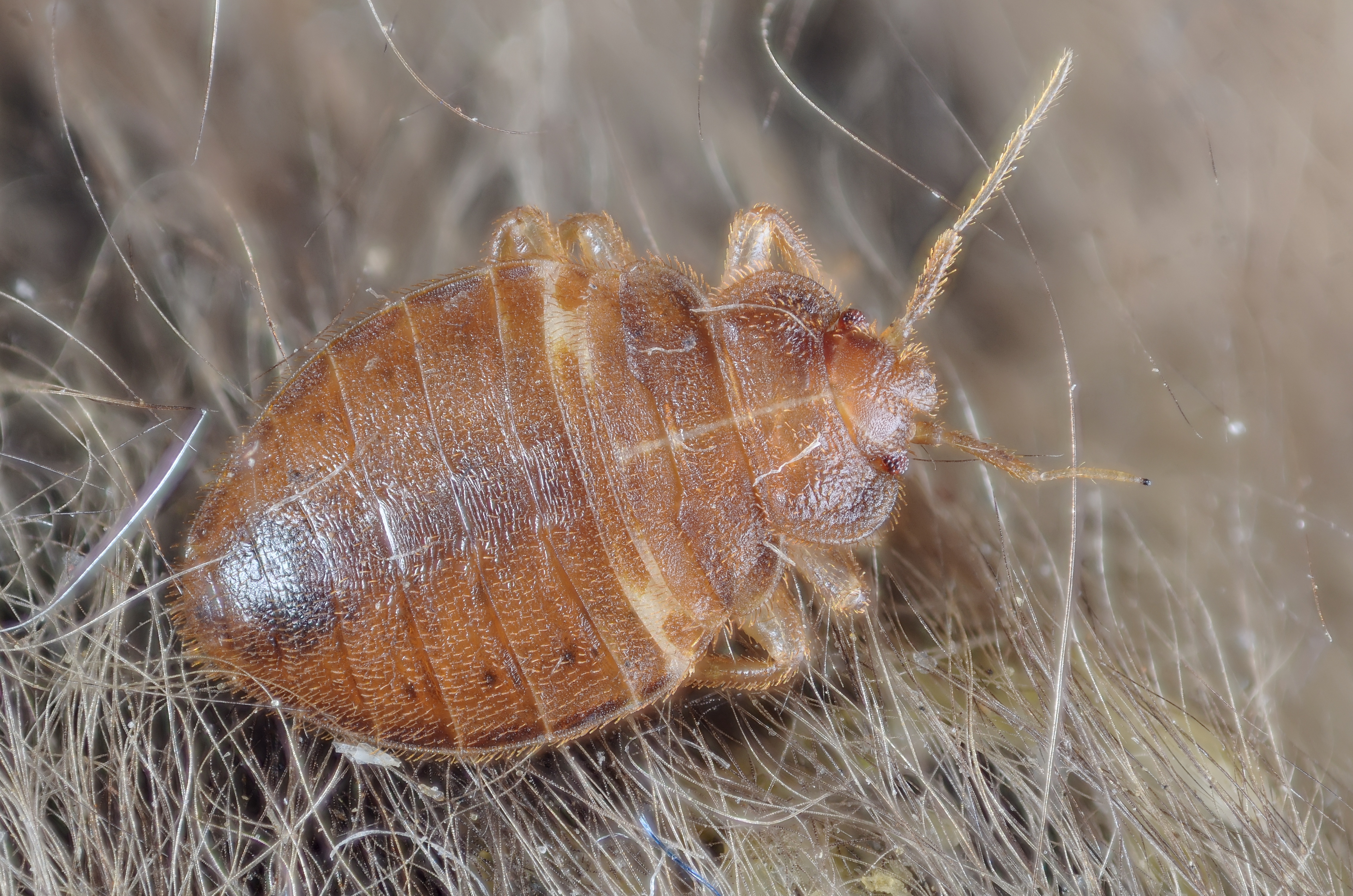 Bed Bug Treatment Tempo Demand Alcohol