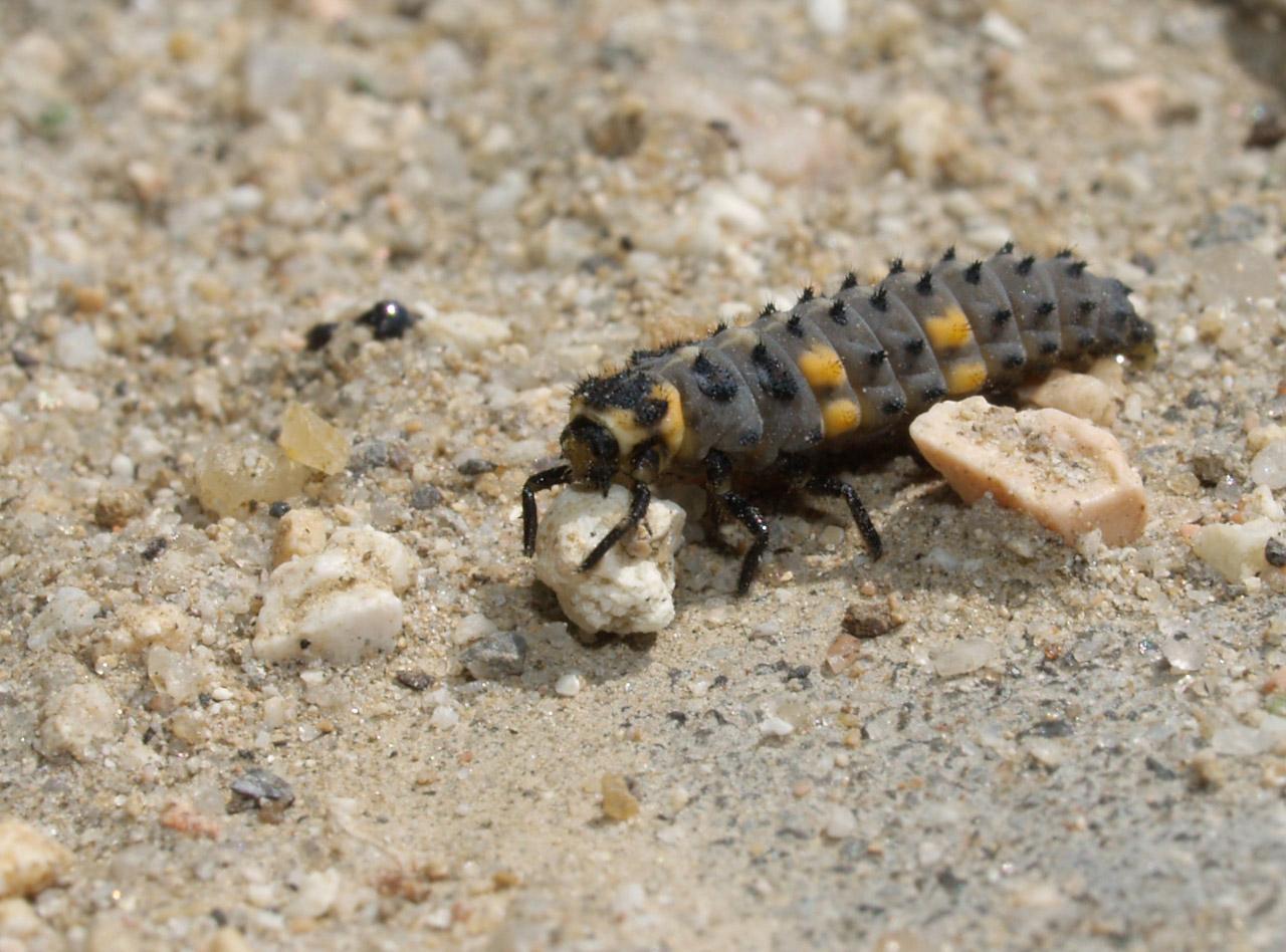 filecoccinellidae larva 20090415jpg wikimedia commons