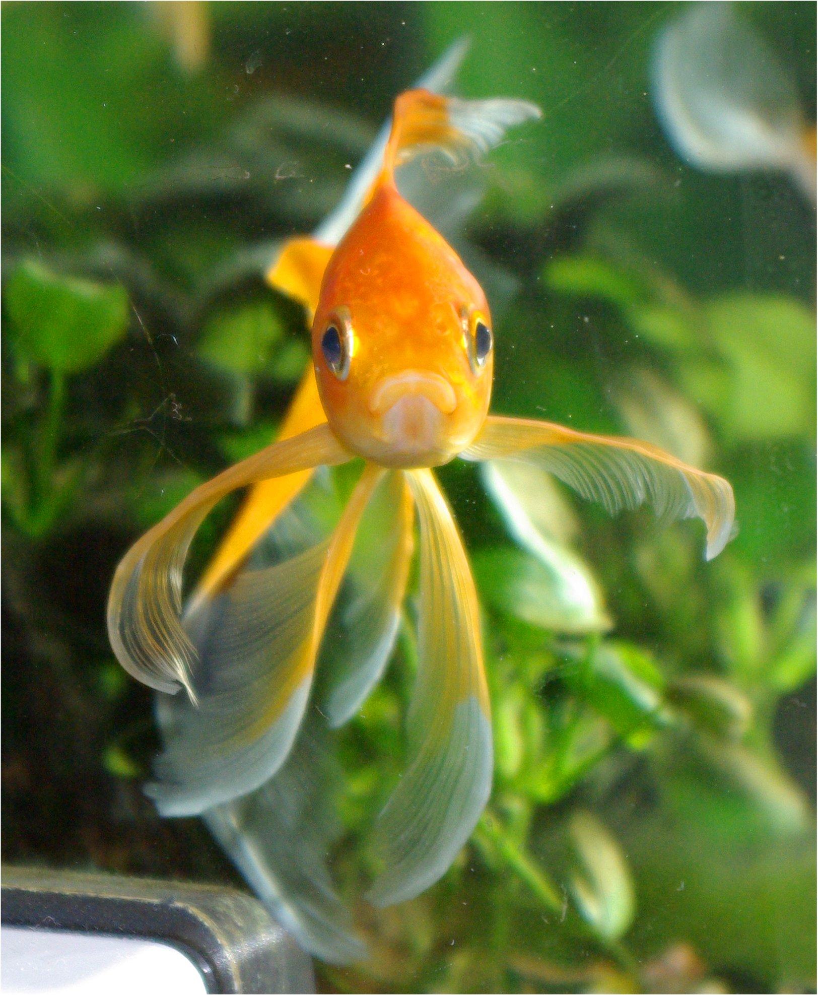 Aiuto per pesciolino rosso a due code altri animali for Pesce oranda