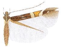 <i>Cosmopterix pulchrimella</i> Species of moth