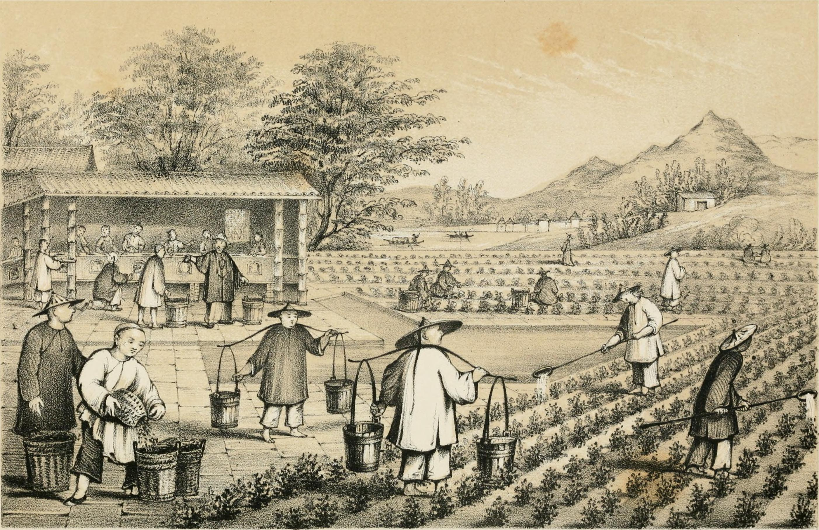 File Culture And Preparation Of Tea Jpg Wikimedia Commons