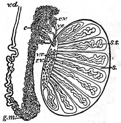 Fileeb1911 Reproductive System In Anatomy Testis And Epididymis