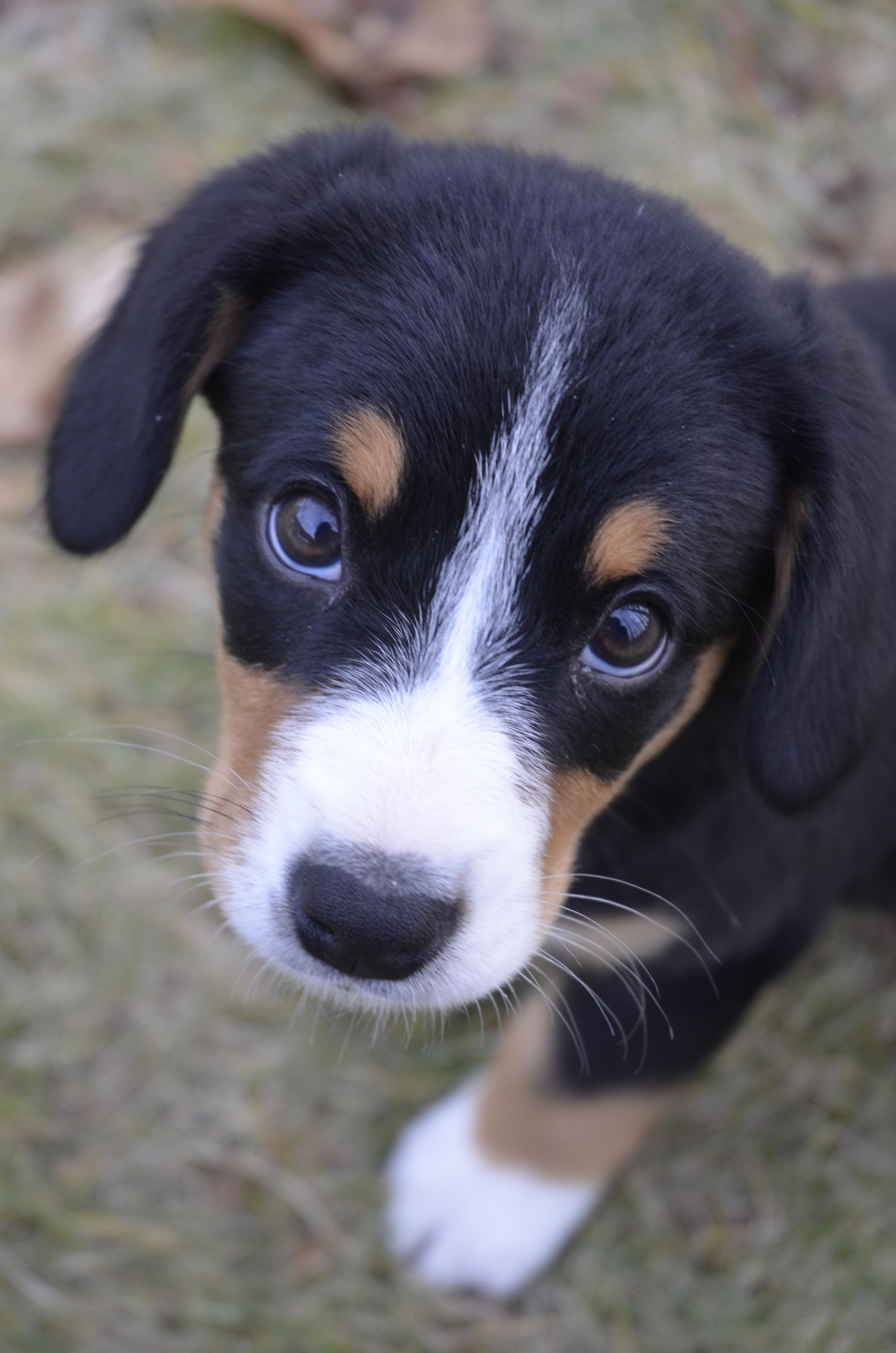 Entlebucher Mountain Dog Price Uk