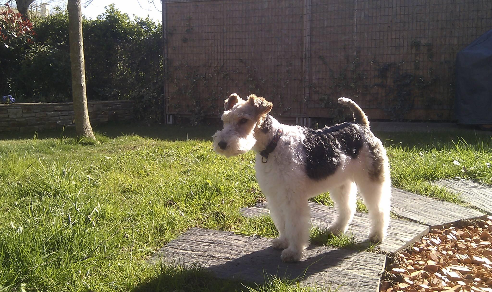 Fichier Femelle Fox Terrier A Poil Dur Jpg Wikipedia
