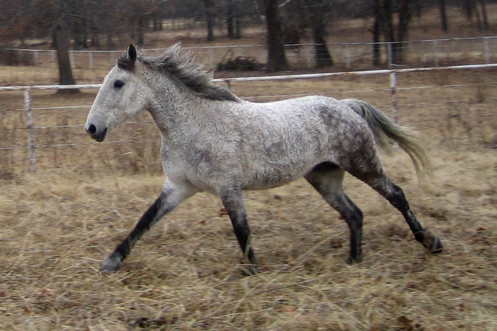 American Bashkir Curly Horse Wikipedia