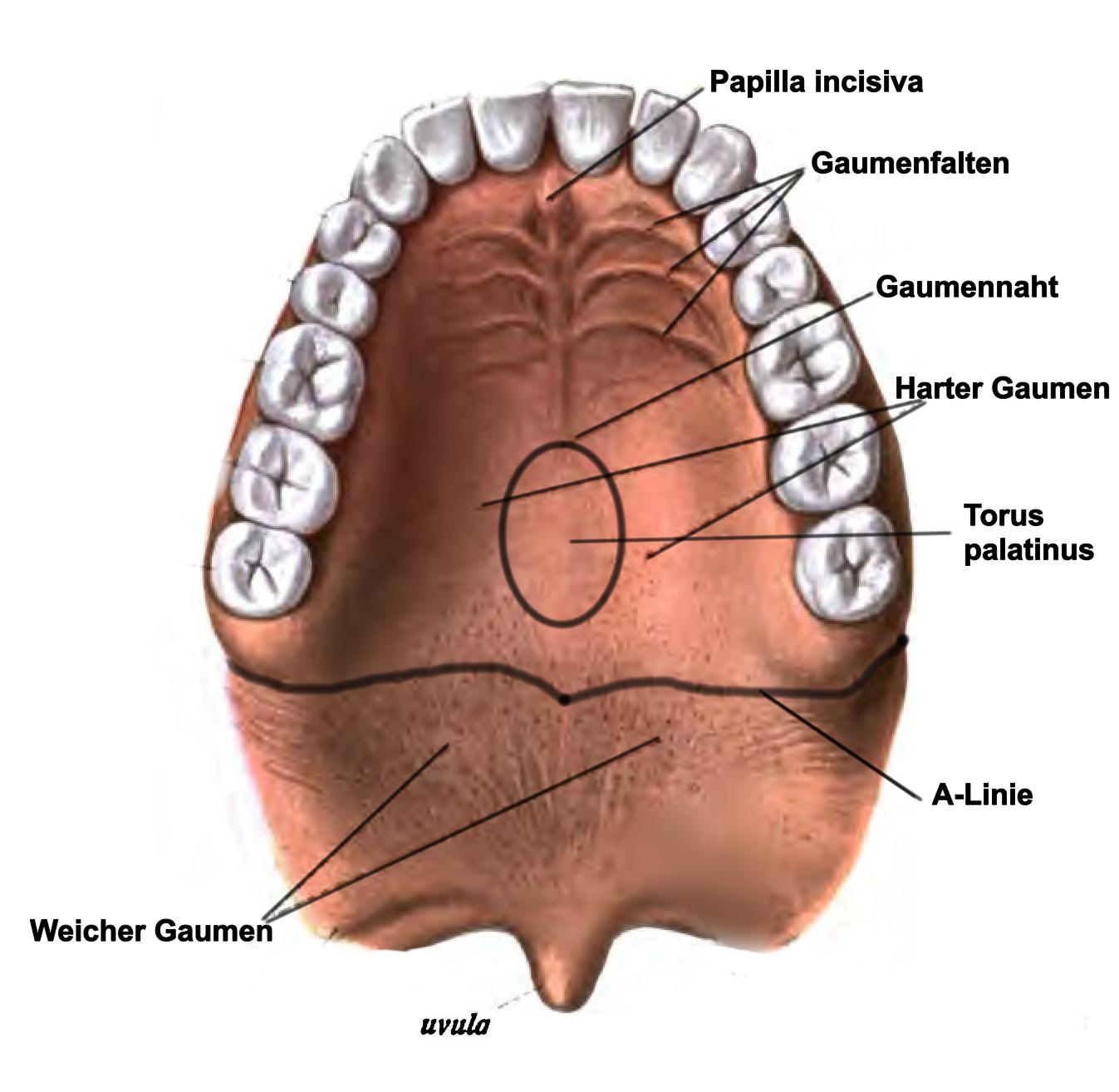 Gaumen – Wikipedia