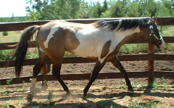 file grullo overo stallion jpg wikipedia