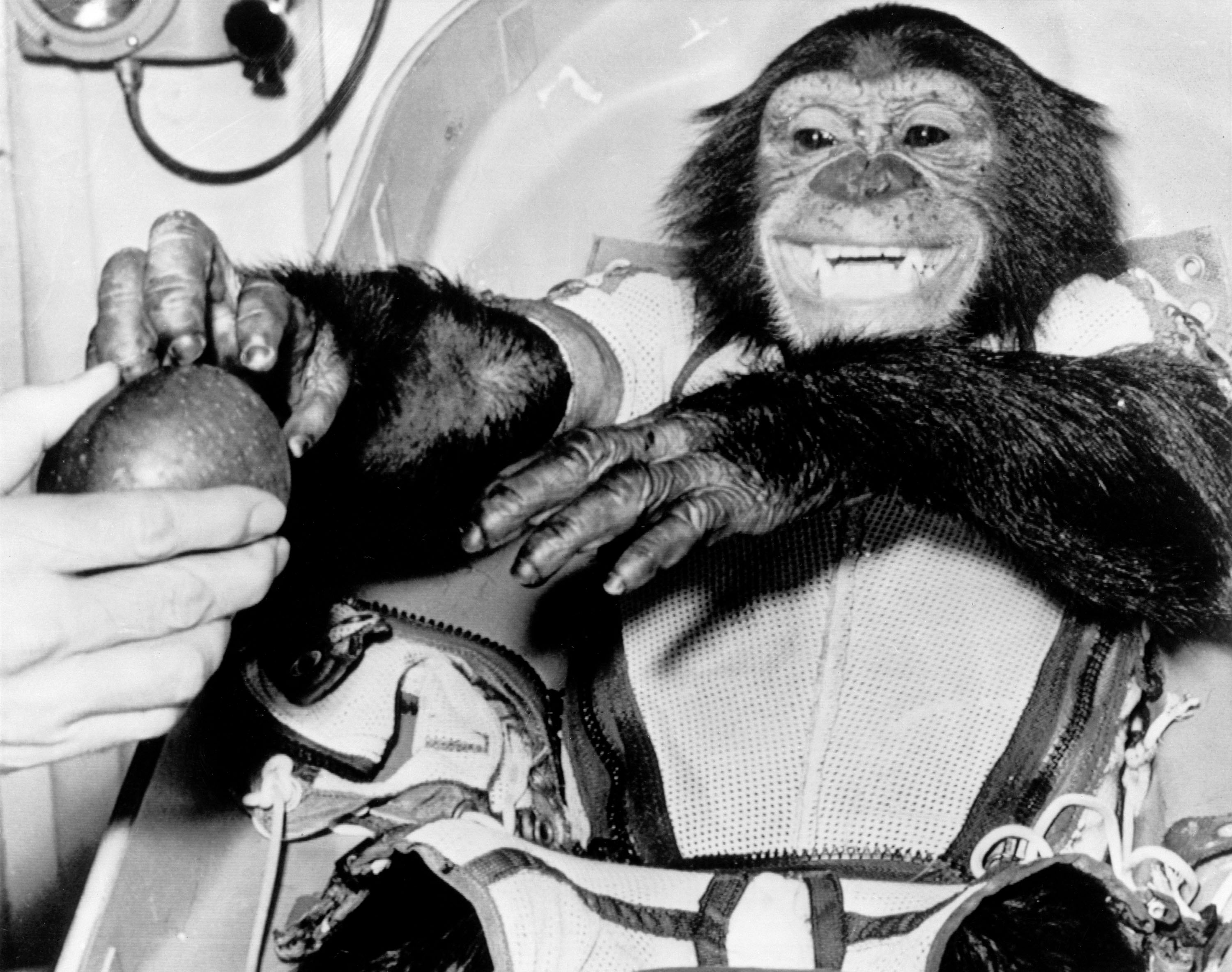 Astronaut chimpanzee, Ham, gets an apple after his first successful flight into space [3,000 × 2,366] 31 January 1961