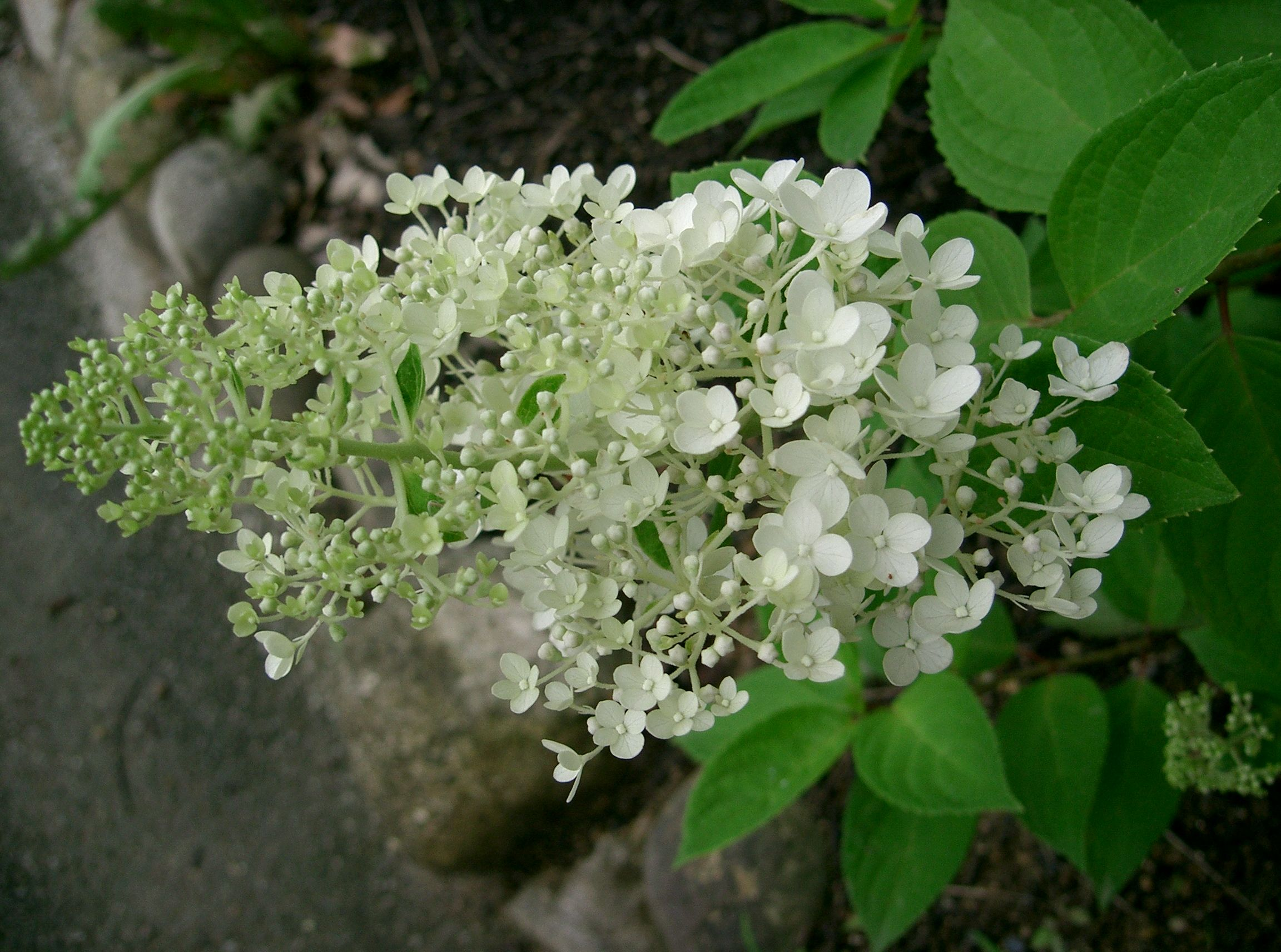file hydrangea paniculata f wikimedia. Black Bedroom Furniture Sets. Home Design Ideas